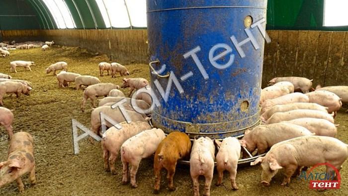 Содержание свиней по канадской технологии