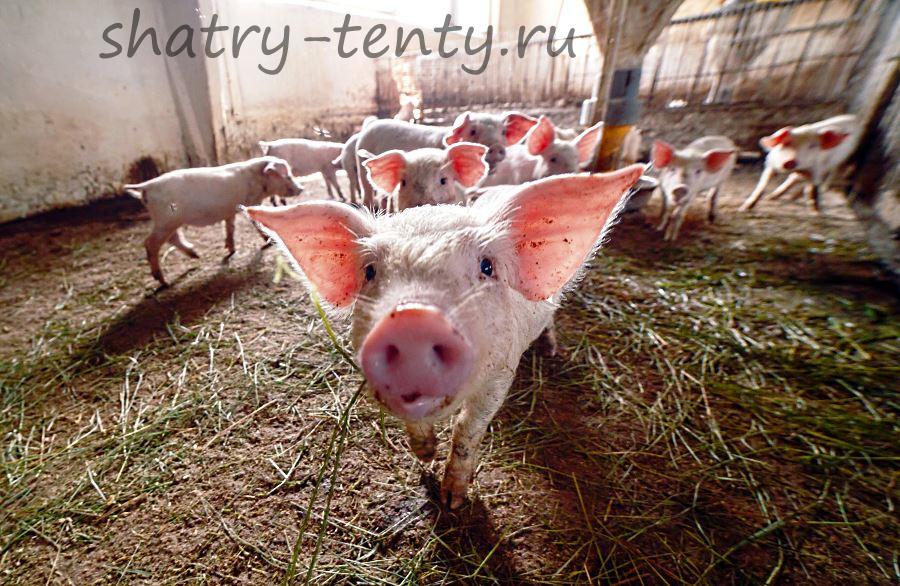 Свиноферма в каркасно-тентовом ангаре