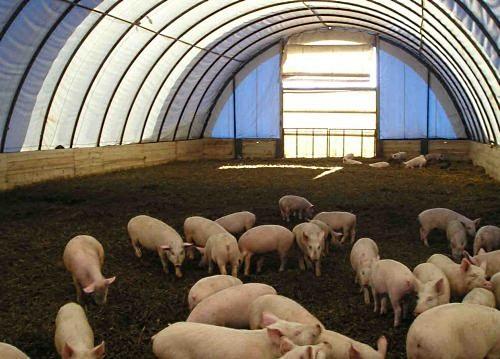 Тентовый ангар для содержания свиней